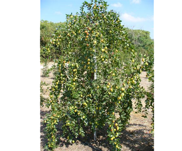 Pics For Gt Chinese Jujube Tree